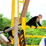 White face monkeys hanging around our pool area