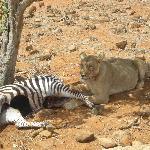 ...leonessa con la sua preda...