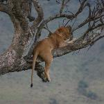 A lazy lioness in tree
