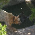 osos, uno de ellos bañándose