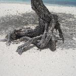 Roots of a Divi Tree