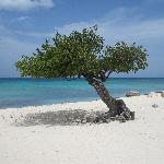 One of a Pair of Divi Trees on Eagle Beach