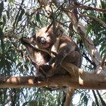 Kennet River: Koala in the wild