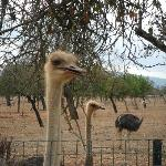 One of several ostrich on the farm.