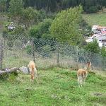 hay vicuñas y  llamas pastando libremente