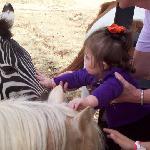 Petting a zebra