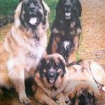 these are the owners Leonberger dogs.