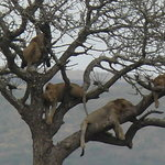 Lions Sleeping in Tree