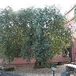 l'ulivo pluricentenario