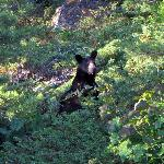 Black Bear on Wreck Island