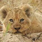 Lion cub  in the river bed near Inyati