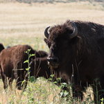 Antelope Island (3), Bisons