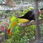 rescued Toucan at Maya Key