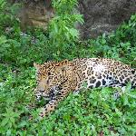 Jaguar at Maya Key