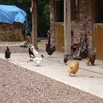Chicken Mayhem = Fresh Eggs :-)