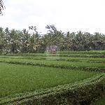 Overlooking Rice field from our balcony