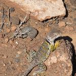 Collared lizard--he and a few thousand of his cousins are everywhere!
