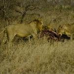 A lion pride on their buffalo kill