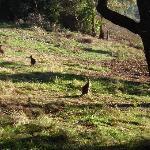 kangaroo's grazing