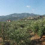 Olive Groves surrounding Villa