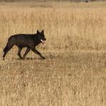 A  black wolf hunts in Grand Teton National Park.......