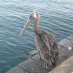 The friendly pelican on the dock.
