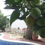 Mango and Swimming pool