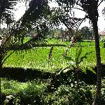 our view of the rice terrace from our patio