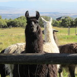 Friendly llamas