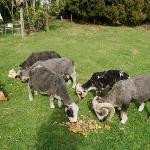Mount Tutu Sheep