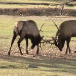 Elk near the lodge