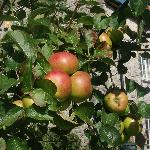 Apples we hoped to fall for our crumble !!