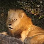 finding lions at night was exciting