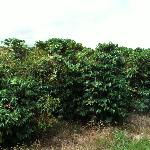 mature coffee plants
