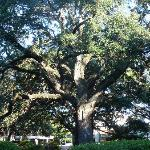 The live oaks steal the show