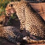 2 Cheeta siblings