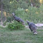 Wild Turkeys like Peregrine Pointe