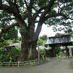 樹齢1000年の大楠