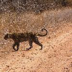 rare daytime leopard