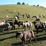 コテージの前、羊が沢山