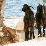 Goats chilling