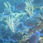 Pesci blue tang