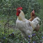 Giacomo, le coq, veille sur les poules qui nous fournissent les oeufs du petit-déjeuner