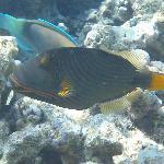 Snorkelling -Trigger fish