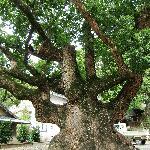 立派な枝の楠の樹