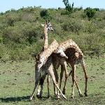 "Male giraffe ""necking"""