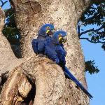 blue hyacynth macaws