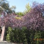 Cerejeiras na entrada
