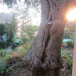 The beautiful olive trees!! Ancient!