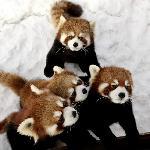 Red Panda Triplets